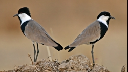 <center>Spur-winged Lapwing<br><i>Vanellus spinosus</i><br>The Gambia<br> 29-01-2008</center>