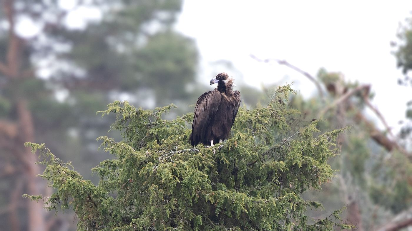 Cinereous Vulture in the Netherlands