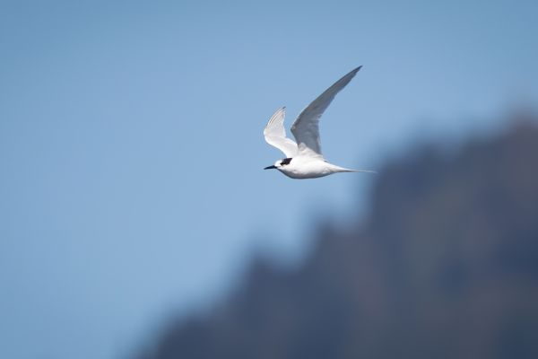 2019-03-03-white-fronted-tern-0001C22988CA-5023-4118-8768-A9647B60151A.jpg