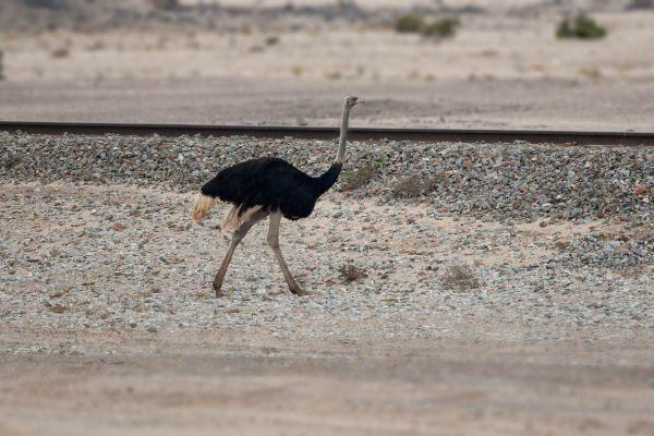 2012-02-08-common-ostrich-008A0898A8D-4256-6639-7473-EB07E988A752.jpg