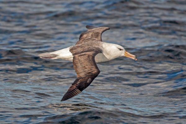 2011-03-25-black-browed-albatross-037F6753094-1FDB-F825-35D2-8B551DC55506.jpg