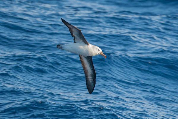 2011-03-27-black-browed-albatross-046F2332A10-0CB0-3E09-F510-965BA4DED16C.jpg