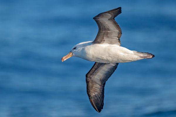 2011-03-27-black-browed-albatross-078373800E7-F7EF-1DEC-BA84-E10C13FD22FC.jpg
