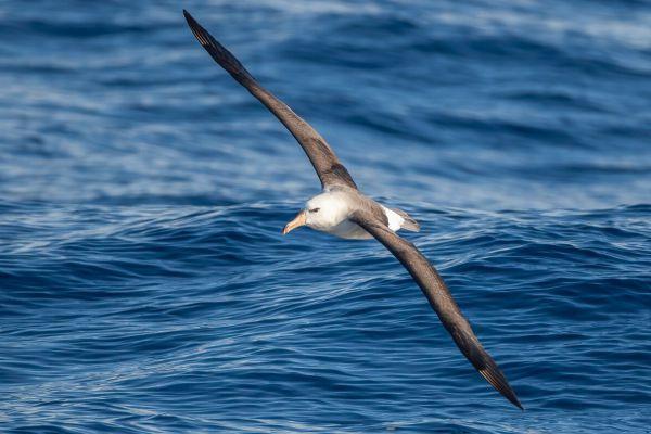 2011-03-27-black-browed-albatross-1069123B533-C148-B23B-A9CC-0CA3CEE8C25D.jpg