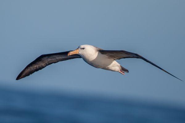 2011-03-27-black-browed-albatross-169761267FE-F2A7-3985-2C46-10AAB5439DB9.jpg