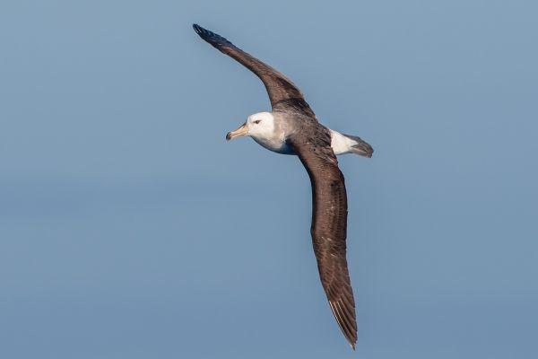 2011-03-27-black-browed-albatross-286B298416C-8E9E-7AB8-5A64-A60CA1183F6B.jpg