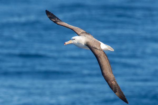 2011-03-27-black-browed-albatross-3033650C930-FD57-1BA9-63B4-E1BE2D444A8A.jpg