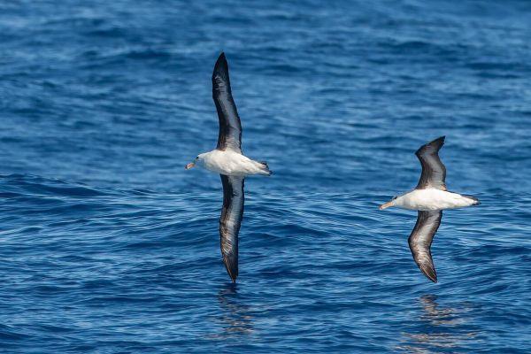2011-03-27-black-browed-albatross-34267BB25BD-4DD3-9C88-1922-A9A57020186D.jpg
