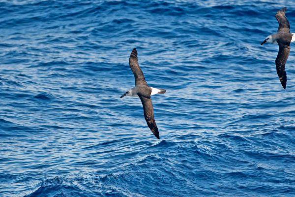 2011-03-27-grey-headed-albatross-0052FF0B97B-59BC-7EA8-2DF0-317985E04167.jpg