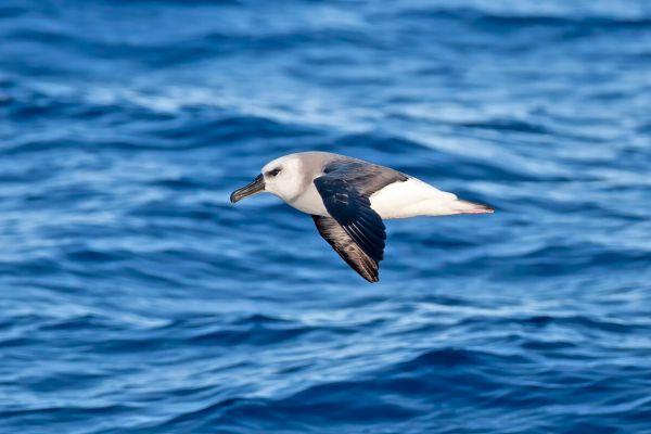 2011-03-27-grey-headed-albatross-010BA681EFB-6BEE-C26B-19DF-D5C76C1956C7.jpg