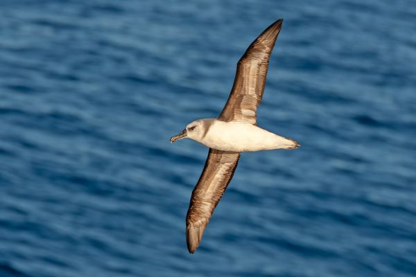 2011-03-27-grey-headed-albatross-026DEFA27D4-DB47-F27C-8A9E-D219E9B10CBF.jpg