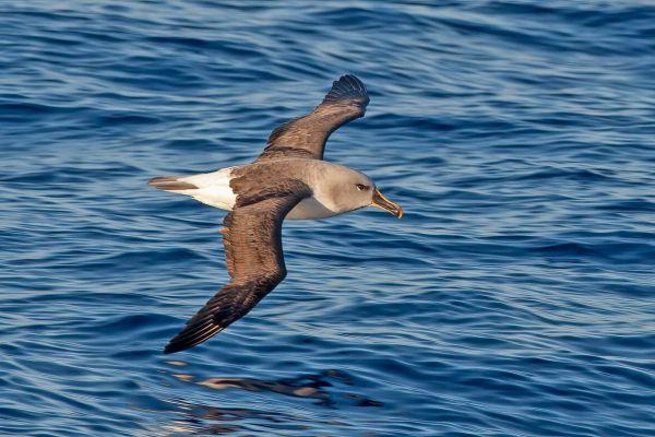 2011-03-27-grey-headed-albatross-05177F10DA3-17E3-0773-EA46-09D143F5E00F.jpg