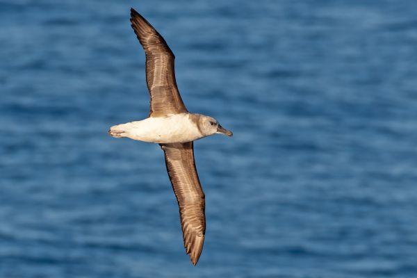 2011-03-27-grey-headed-albatross-0591583A14B-DBE9-9F4B-C952-79EF3BFC0067.jpg