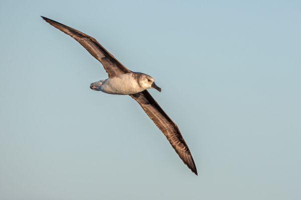2011-03-27-grey-headed-albatross-10618542C00-3499-06D4-33C5-7F4B455A8FCC.jpg