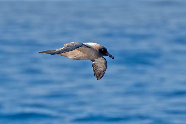 2011-03-27-light-mantled-albatross-0338AE6E709-5623-C27F-02E7-2D582A794151.jpg
