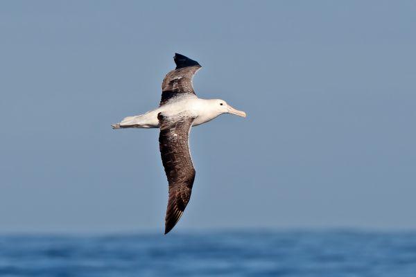 2011-03-27-northern-royal-albatross-0005-2CD23F907-F264-5664-A8A9-3BF61B9D1CA4.jpg