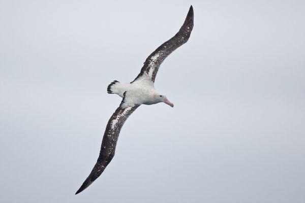 2011-03-28-wandering-albatross-0368E970342-A431-F817-B17C-45116C4F1B84.jpg