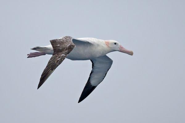 2011-03-28-wandering-albatross-044255849A8-118F-4A32-77CA-513EFE2CA5BA.jpg