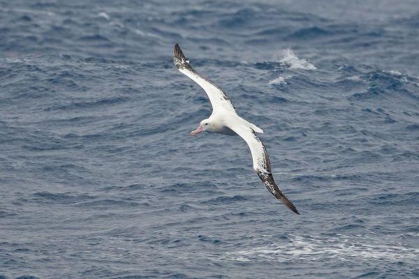 2011-03-28-wandering-albatross-05023414A06-BFDB-ACF2-63B3-F01B772D9AD6.jpg