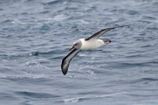 2011-04-02-grey-headed-albatross-014ED7CA14D-B34C-3779-056C-66F13298225B.jpg