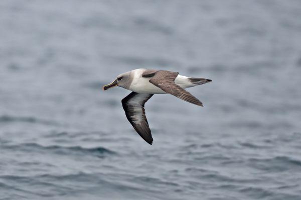2011-04-02-grey-headed-albatross-0212ECAD49F-1E8D-426C-B116-172B250E9015.jpg