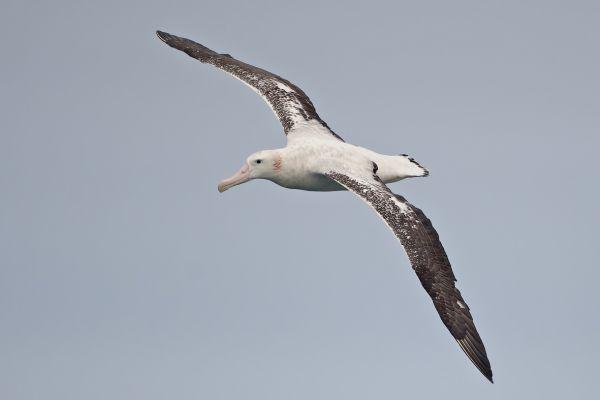 2011-04-02-wandering-albatross-02191FEC822-310E-1BFE-3BB0-661BDD878BDA.jpg