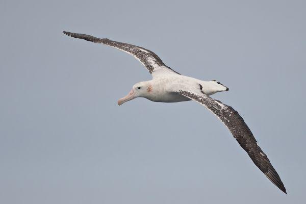 2011-04-02-wandering-albatross-02376C963BD-E4B4-30BF-FB0E-C029C5230BF4.jpg