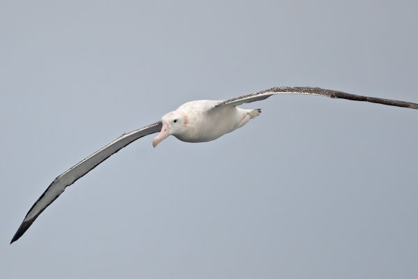 2011-04-02-wandering-albatross-07081A2B8B5-B74A-86D1-55DF-87505D07C2DD.jpg