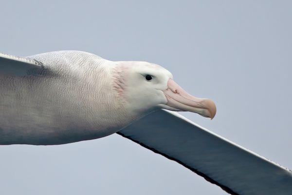 2011-04-02-wandering-albatross-1572638B4E3-1213-42DA-A5C0-080B4273A5D4.jpg