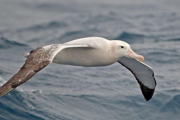 2011-04-02-wandering-albatross-172D9F020FE-1D8D-EFF5-373C-E53BFC5FAEE3.jpg