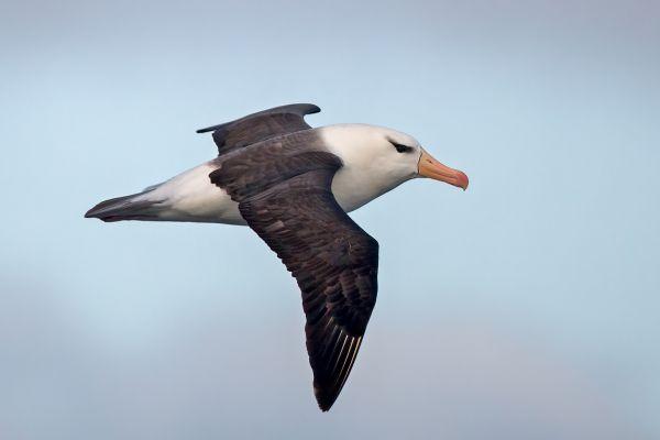 2011-04-03-black-browed-albatross-034C55905B0-09A6-1468-6A9F-6608E7153D58.jpg