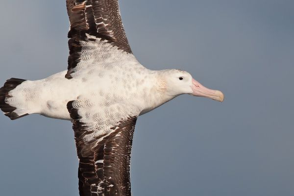 2011-04-03-wandering-albatross-005652E6526-A0CC-92A4-0F8A-940509B4BAC4.jpg