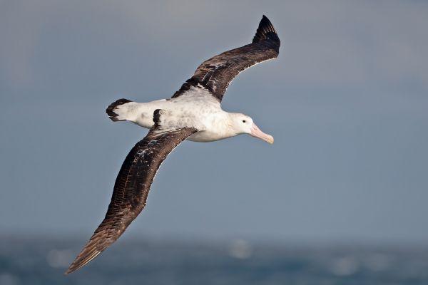 2011-04-03-wandering-albatross-01295BF8E62-7031-211B-5292-2FAE1550D200.jpg