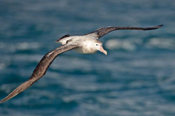 2011-04-03-wandering-albatross-017B9348C1F-5C57-12B6-3644-75225A0D4D8E.jpg