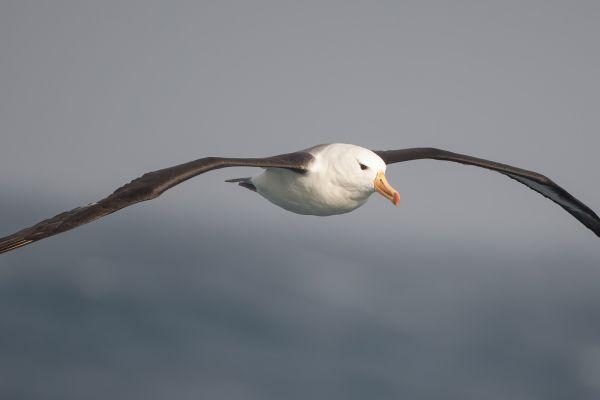 2011-04-06-black-browed-albatross-037901D111F-D5FA-6989-40AC-7A0D9F3E254A.jpg