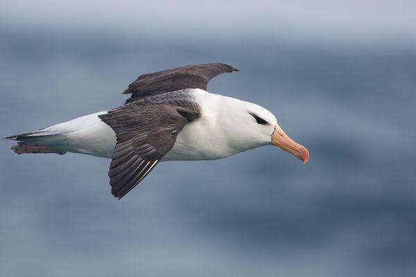 2011-04-06-black-browed-albatross-082666654A1-6EC5-CABF-8AD1-86D62DF192ED.jpg