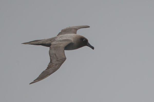 2011-04-06-light-mantled-albatross-028-1AD3C1E89-154F-5C4D-6EC2-DAAB1528F376.jpg