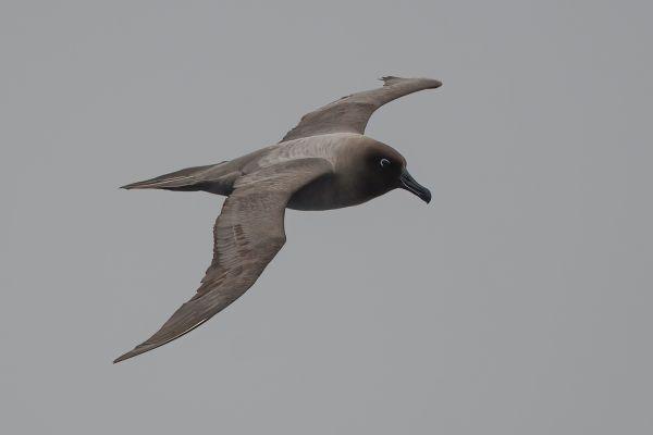2011-04-06-light-mantled-albatross-048-1C92F9E18-3520-6A92-DBE5-11AE67C6073A.jpg