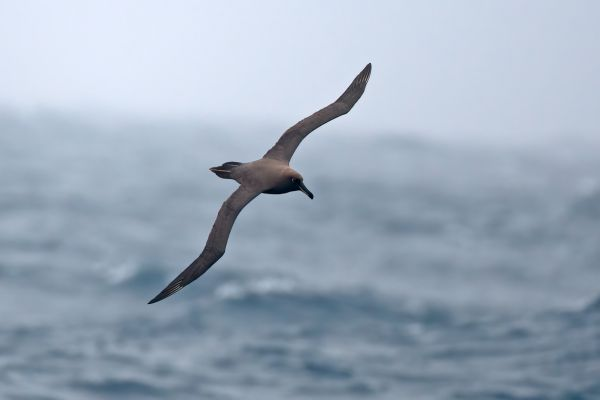 2011-04-06-sooty-albatross-100956C72FD-24A7-35B7-3F76-4729147E2F8E.jpg
