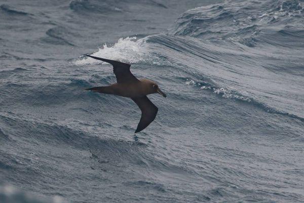 2011-04-06-sooty-albatross-10564169C35-2388-0C08-7CB3-2E9512304F4D.jpg