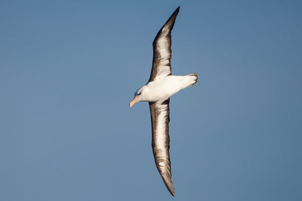 2011-04-07-black-browed-albatross-0107C8F2BD6-4731-864F-B80C-902B93C8C25E.jpg