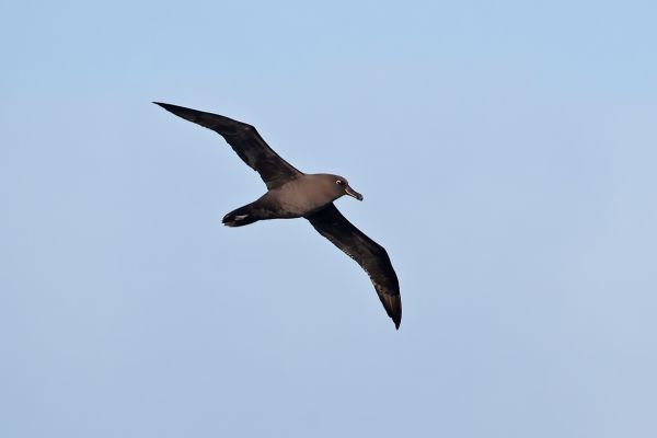 2011-04-07-sooty-albatross-0060E016EA4-3150-5584-40FB-42296A90BCF3.jpg