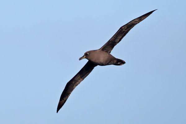2011-04-07-sooty-albatross-013CF6B2A02-A2B8-35B9-846E-6DBFD9AC9B9D.jpg