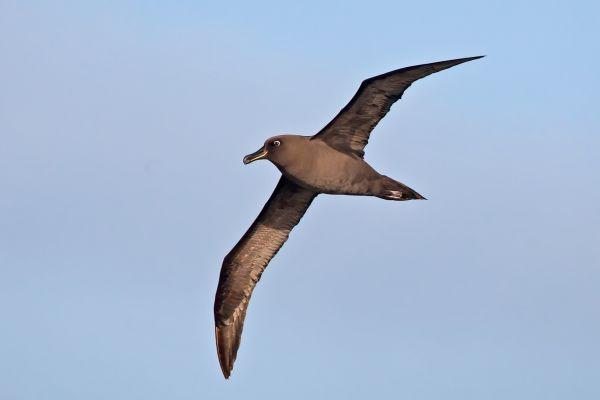 2011-04-07-sooty-albatross-0650915817B-B71A-C653-38ED-655FDCE52764.jpg