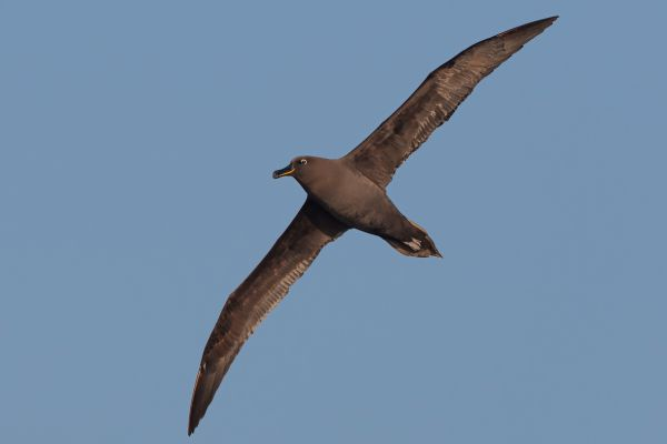 2011-04-07-sooty-albatross-097FADFF6C1-B32D-09EF-7444-FA1E6C4DD44D.jpg