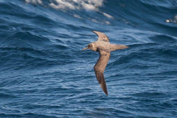 2011-04-07-sooty-albatross-1781F441199-9B8E-6CC0-F0D8-DED7061F7914.jpg