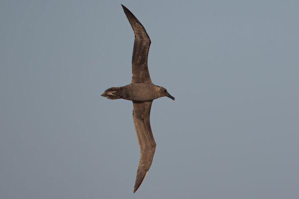 2011-04-07-sooty-albatross-1830BA18E50-B8D7-CB46-1604-3D67D829E42B.jpg