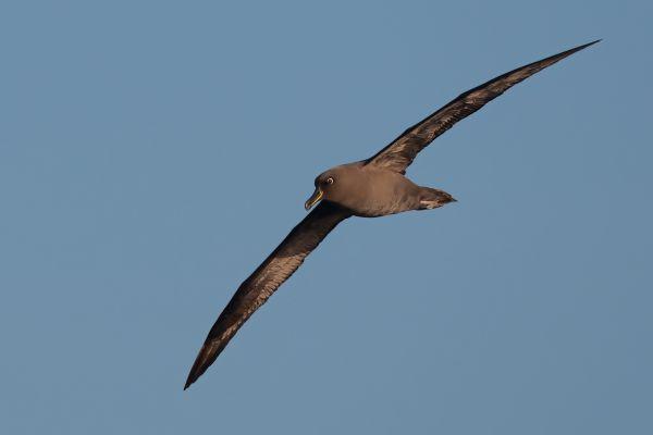 2011-04-07-sooty-albatross-2228A389E16-A029-D6D2-D04E-CA1CCE7851A6.jpg