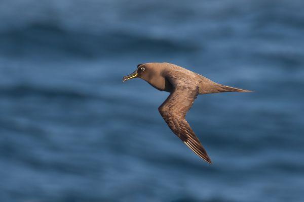 2011-04-07-sooty-albatross-240D409F5C0-E8CB-3BE6-2BB4-A2116DF6DF80.jpg