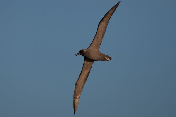 2011-04-07-sooty-albatross-248770A4AE9-1888-97A0-EE7C-CC35E098CBC1.jpg